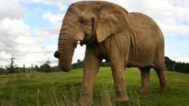 Search on to find friend for Scotland's only elephant | Pachyderm Magazine | Scoop.it