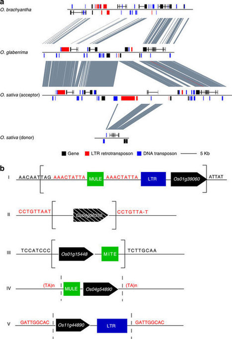 Whole-genome sequencing of Oryza brachyantha reveals mechanisms underlying Oryza genome evolution : Nature Communications : Nature Publishing Group | Plant genetics | Scoop.it