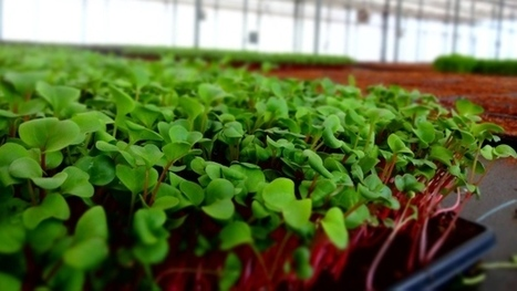 'Nutrient density, flavour and crunch' of microgreens pack a punch against imported vegetables | Vertical Farm - Food Factory | Scoop.it
