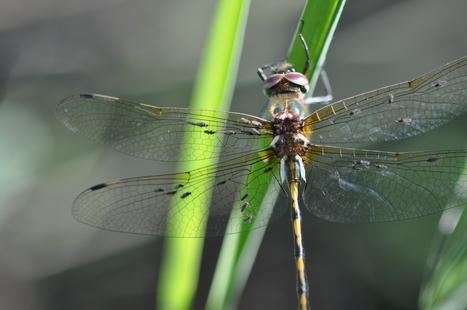 Etude de la distribution française du parasite Forcipomyia paludis | EntomoNews | Scoop.it