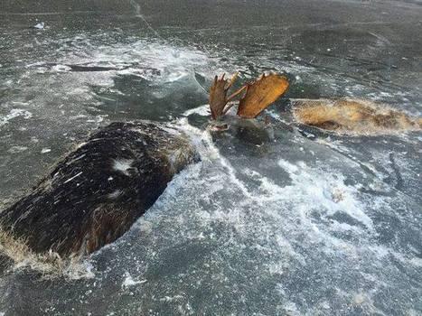 Chaque année, des animaux se retrouvent piégés dans la glace | Biodiversité | Scoop.it