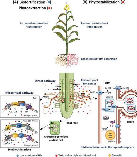 heavy metal paradox in arbuscular mycorrhizas: from mechanisms to biotechnological applications | Journal of Experimental Botany | Oxford Academic | Chimie verte et agroécologie | Scoop.it