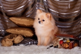 Preventing and Reversing Small Dog Syndrome | Pets | Scoop.it