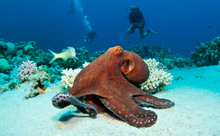 Octopus Killing in Washington Sparks Outrage | Scuba Diving Adventures | Scoop.it
