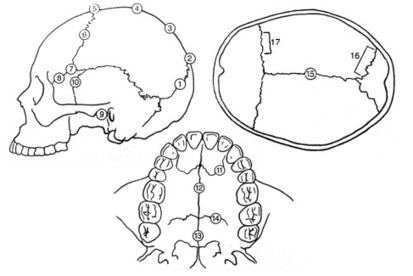Quick Tips: How To Estimate The Chronological Age Of A Human Skeleton – Cranial Suture Closure Method. | Anthropology, Archaeology, and History | Scoop.it