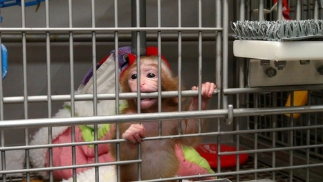 NIH Child Abuse: Experiments on Baby Monkeys Exposed | SocialAction2014 | Scoop.it