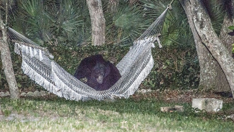 Amazing photos of bear lounging in backyard hammock | In Today's News of the Weird | Scoop.it