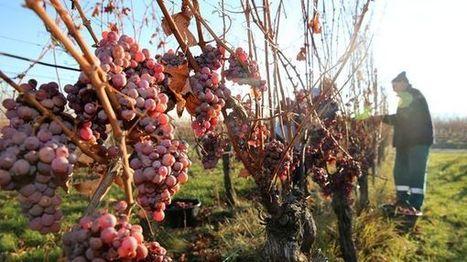 Une vendange généreuse pour l'Alsace en 2016 | Le vin quotidien | Scoop.it