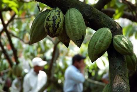 Se cultivarán 400 manzanas de cacao blanco en Copán - Diario El Heraldo | cacao | Scoop.it