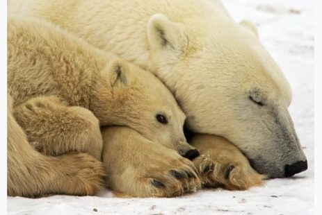 Polar bears facing 'worst-case trajectory' because of climate change | Toronto Star | Sins against nature | Scoop.it