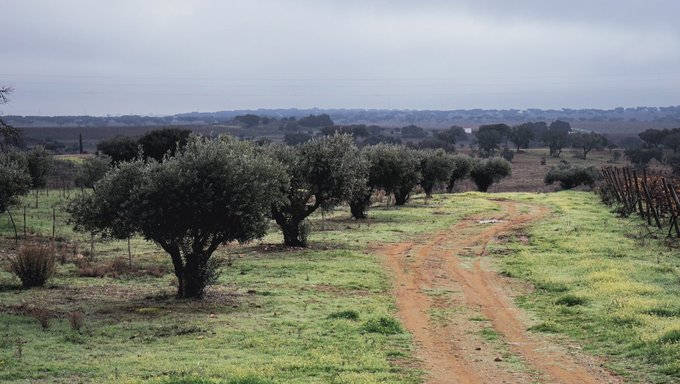Portugal May Be the Third-largest Olive Oil Producer by 2030