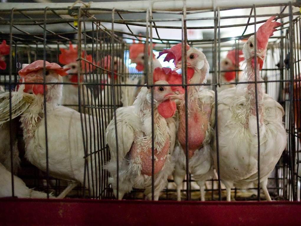 factory chicken farming