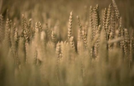 Agriculture : blé et maïs commencent à prendre goût au bio   Les colocs du jardin   Scoop.it