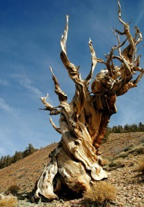 The Oldest Trees on the Planet - Pando, Methuselah, and more | emergent-complexity | Scoop.it
