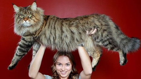 This Mega Monster Cat May Become the Biggest Cat In the World   catnipoflife   Scoop.it