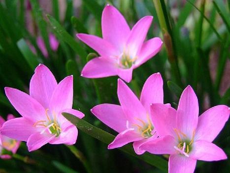 Sự tích và ý nghĩa của hoa tóc tiên-Vườn Cây Bốn Mùa | tamdeptrai | Scoop.it