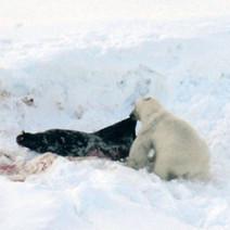 Polar Bears Dining on Strange, Toxic Seals : DNews | Social studies | Scoop.it