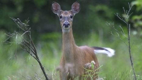 Livers and 'deer diaries' help in study of big environmental changes   Nova Scotia Hunting   Scoop.it