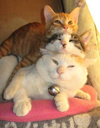 Trio de chats | Funny and crazy cats | Scoop.it