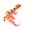 Leopard gecko genetics