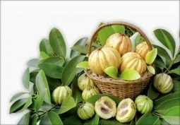 Reasons Why Pregnant Women Should Not Use Garcinia Cambogia | BELLY FAT SOLUTION | Scoop.it