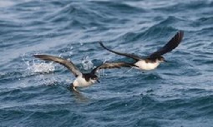 Rare birds thriving on after scheme rids islands of rats | Iles | Scoop.it