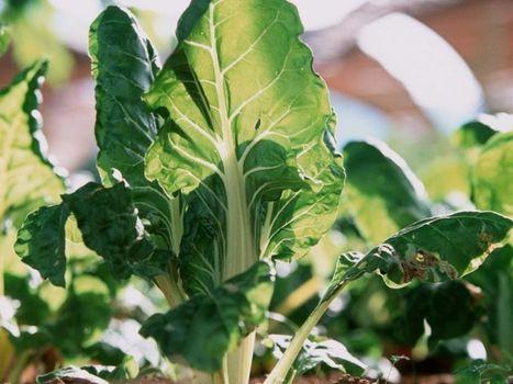 La blette, un légume anti diabète et anticancer | Actu Santé et alternatives | Scoop.it