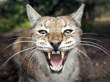 The lynx is returning to Britain after 1,300 years | this curious life | Scoop.it