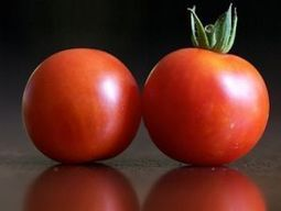 Organic Tomatoes in January: Sucking Mexico Dry | @FoodMeditations Time | Scoop.it