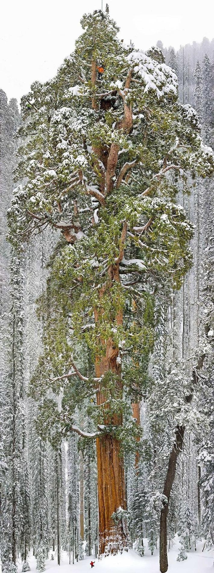 Nature: 16 arbres magnifiques et spectaculaires | Bois, forêt, construction, bois énergie, ameublement et plus | Scoop.it
