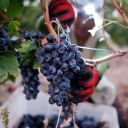 Grapevine quarantine in California partially lifted - Fox News   Plant Pests - Global Travellers   Scoop.it