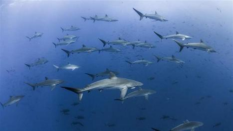 5 Facts Highlight Urgent Need for Shark Conservation | Amocean OceanScoops | Scoop.it