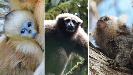 Over half of primates now facing extinction, new report says | Our Evolving Earth | Scoop.it