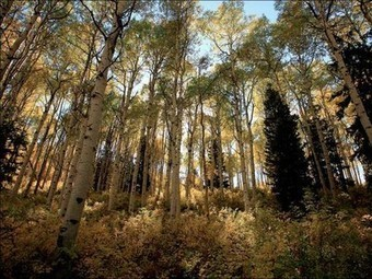 Nature Blows My Mind! This 80,000-Year-Old Aspen Grove Clones Itself | Botany Roundup: Worthy Plant News | Scoop.it