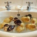 Some duck  swimming in a basin | 2 dogs are very happy | Scoop.it