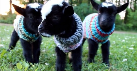 Stop Everything And Look At These Baby Goats In Tiny Sweaters | Pet Sitter Picks | Scoop.it