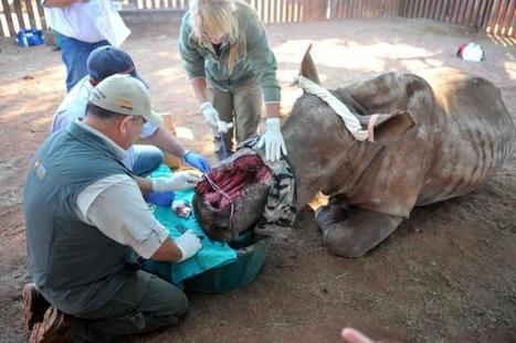 Hope the rhino gets pioneering surgery  | What's Happening to Africa's Rhino? | Scoop.it