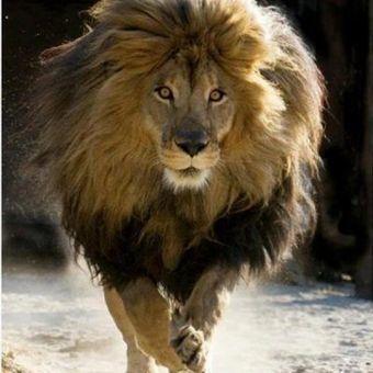 Maroc : Faut-il réintroduire le Lion de l'Atlas dans son habitat naturel ? | Ecotourisme au Maroc | Scoop.it