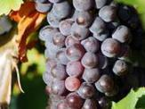 Liqueur de raisin | Recettes de liqueurs | Scoop.it