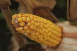 Corn Nears Three-Year Low on Expectations for Bigger U.S. Supply | America and Africa | Scoop.it
