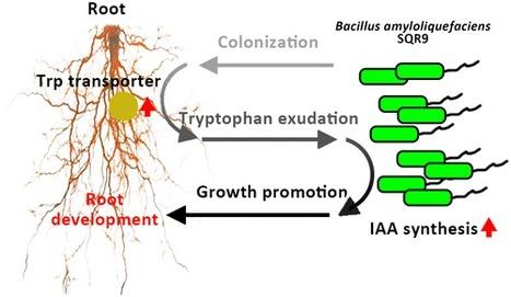 Microbes On Root Diagram Diy Wiring Diagrams