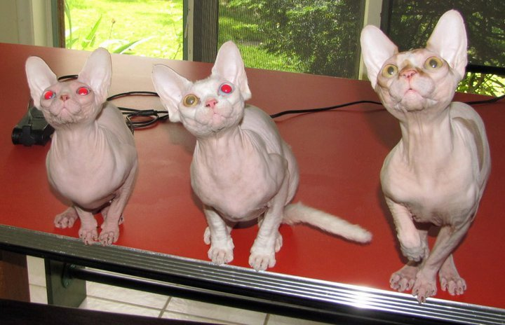 Oh Those Hairless Cats