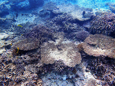 Coral bleaching kills 70 percent of Japan's biggest coral reef:The Asahi Shimbun | Organic Farming | Scoop.it