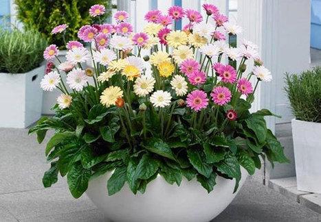 Cách trồng và chăm sóc hoa đồng tiền-vườn cây bốn mùa | tamdeptrai | Scoop.it