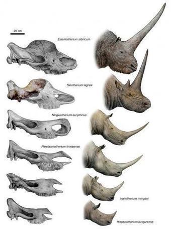 Long-horned rhino from China reveals origin of the unicorn | Skylarkers | Scoop.it