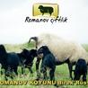 saf rus romanov koyunu