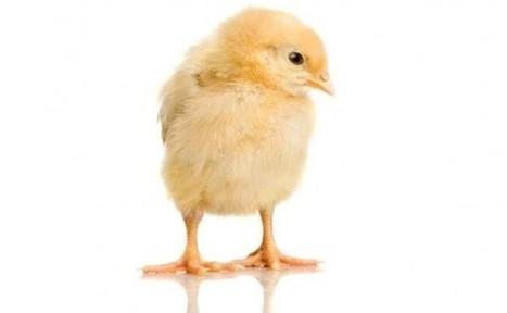 Les poussins préfèrent les sons harmonieux | Vegactu - végétarien, végétalien et végan | Scoop.it