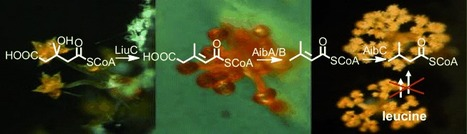 An Alternative Isovaleryl CoA Biosynthetic Pathway Involving a Previously Unknown 3-Methylglutaconyl CoA Decarboxylase | BiotoposChemEng | Scoop.it