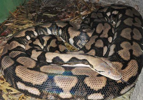 Le premier cas prouvé de parthénogénèse  chez le Python réticulé. | Biodiversité, Herpétologie, Ichtyologie, Entomologie... | Scoop.it