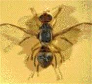 Sénégal. L'approche champs-écoles, la nouvelle trouvaille contre la mouche des fruits   Les colocs du jardin   Scoop.it
